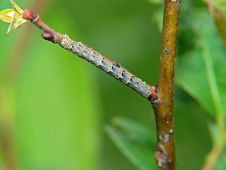Caterpillar Of The Butterfly Of Family Geometridae. Royalty Free Stock Images