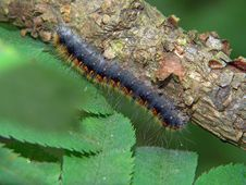 Free Caterpillar Of Butterfly Eriogaster Lanestris. Stock Photo - 595100