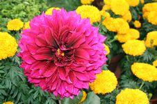 Flower Power Dahlia Royalty Free Stock Photos