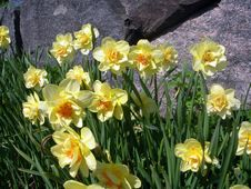 Free Narcissus Stock Photo - 595340