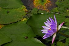Free Water Lily Royalty Free Stock Photos - 595748