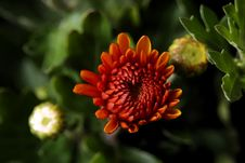 Free Chyrsanthemum Royalty Free Stock Photo - 596375