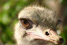 Free Ostrich Stock Images - 596964