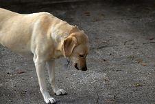 Free Gold Labrador 2 Royalty Free Stock Image - 597556