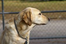 Free Gold Labrador 1 Royalty Free Stock Photography - 597557