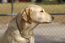 Gold Labrador Royalty Free Stock Photos
