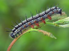 Free Caterpillar Of The Butterfly Of Family Nymphalidae. Stock Photo - 598060