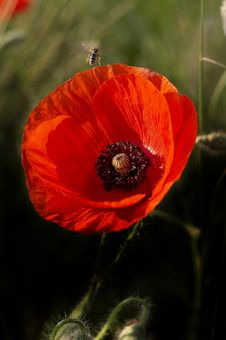 Free Poppy Stock Photo - 598210