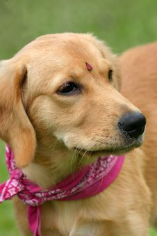 Free Retriever Puppy Royalty Free Stock Photography - 598357