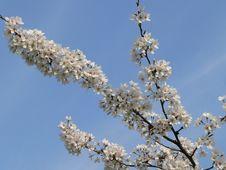 Free Flowery Tree Royalty Free Stock Image - 599176