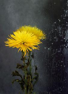 Free Chrysanthemum In A Mirror Royalty Free Stock Photo - 599435