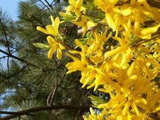Free Yellow Spring Flowers Royalty Free Stock Image - 599546