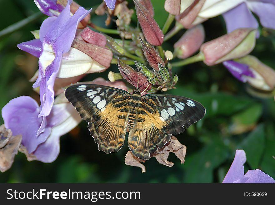 Clipper ( parthenos sylvia) on lavender flowers