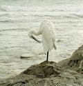 Free Egret. Royalty Free Stock Image - 5901216