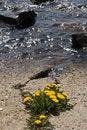 Free Dandelion Stock Photos - 5901943