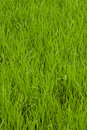 Free Field Of A Green Grass Royalty Free Stock Images - 5904789