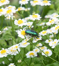 Free Green Bug And Camomiles Royalty Free Stock Photos - 5907048