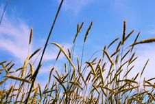 Free Wheat Royalty Free Stock Images - 5900659