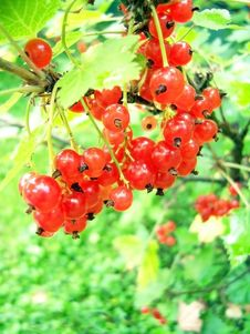 Free Jucy Red Currant Stock Photography - 5900732