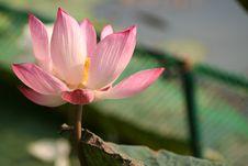 Free Lotus Stock Photos - 5901113