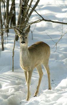 Free Roe Deer. Royalty Free Stock Images - 5901199