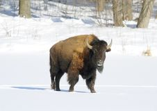 Free Great Bison. Royalty Free Stock Photography - 5901207