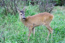 Free Roe Deer. Stock Image - 5901271