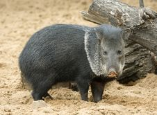 Free Pig. Royalty Free Stock Photography - 5901467