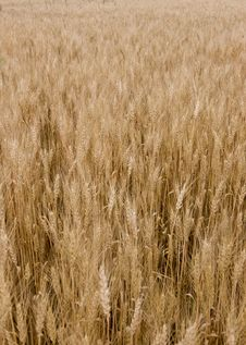 Free Wheat Royalty Free Stock Photos - 5902498