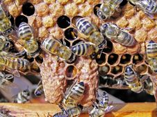Bees Before Swarming. Royalty Free Stock Photos