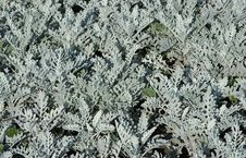 Free Grey Decorative Plants Stock Image - 5903111