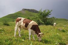 Free Cows Grazing In Mountains Stock Photo - 5903660