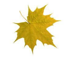 Free Maple Leaf Isolated On White Royalty Free Stock Photography - 5904057