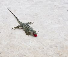 Free Iguana Eating Red Cherry Royalty Free Stock Photography - 5904477
