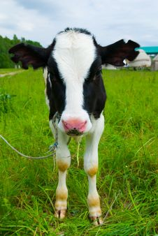 Free Curious Cow Royalty Free Stock Photos - 5904828