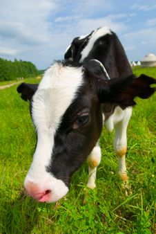 Free Curious Cow Stock Image - 5904971