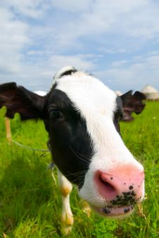 Free Curious Cow Royalty Free Stock Photo - 5904975