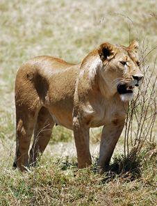 Lion In Ngorongoro N.P. Royalty Free Stock Images