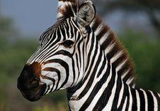 Free Zebra Head Stock Photography - 5905722