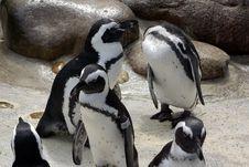 Free Pinguines Stock Photos - 5905903