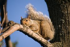Free Squirrel Stock Photography - 5906742
