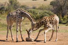 Free Giraffe Eating Stock Image - 5907931