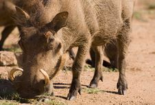 Free Warthog Royalty Free Stock Photography - 5908077
