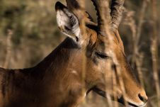 Free African Impala Stock Images - 5908134