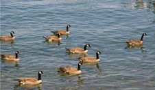 Free Canadian Geese Stock Photography - 5908742