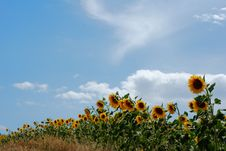 Free Sunflowers In A Row Stock Images - 5908834