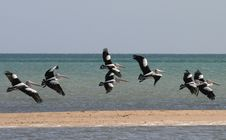 Free Pelicans, Monkey Mia Beach Royalty Free Stock Image - 5909656