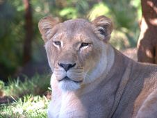 Free Lioness Royalty Free Stock Images - 5909819