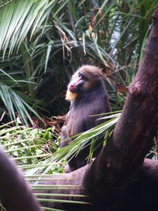Free Mandrill Royalty Free Stock Photo - 5909825