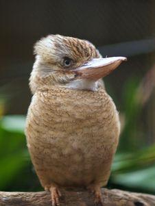 Free Kookaburra Royalty Free Stock Image - 5909976